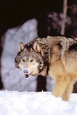Alaska, Gray wolf stalking prey in deep winter snow.