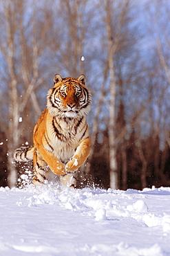 Alaska, Siberian Tiger (Panthera tigris altaica) charging through winter snow.