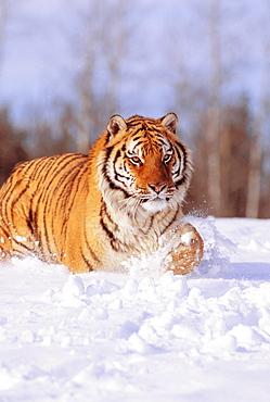 Alaska, Siberian Tiger (Panthera tigris altaica) stalking prey in deep winter snow.