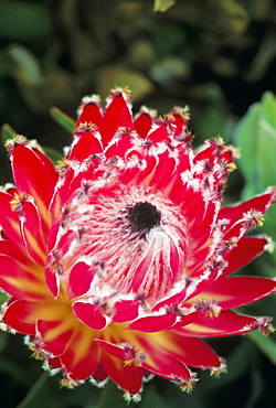 Close-up of a single red Queen Protea on plant