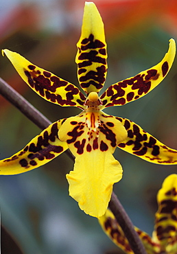 Hawaii, Big Island, Holualoa, extreme close-up of leopard orchid on plant green blurry background