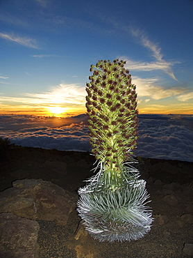 Hawaii, Maui, Haleakala, Silversword (Argyroxiphium sandwicense) Sunset and clouds in background