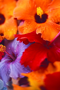 Tropical blooming hibiscus flower arrangement, close-up with colorful detail