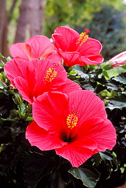 New Jersey, Somers Point, four pink hibiscus