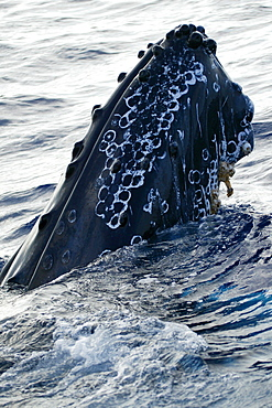 Hawaii, Humpback Whale (Megaptera novaeangliae) breaching, megaptera novaeangliae [For use up to 13x20 only]