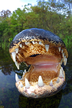 Florida, Big Cypress National Park, American Alligator [For use up to 13x20 only]