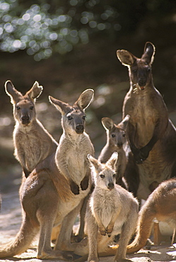 Australia, full view of five kangaroos in the afternoon.