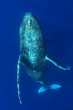 Humpback Whale (Megaptera novaeangliae) underwater in the Pacific Ocean