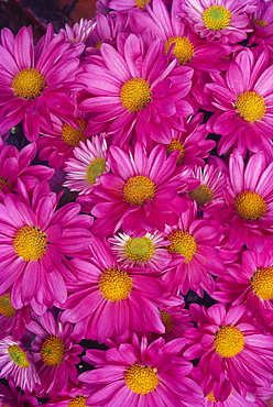 Close-up of a cluster of pink painted daisies [chrysanthemum coccineum]