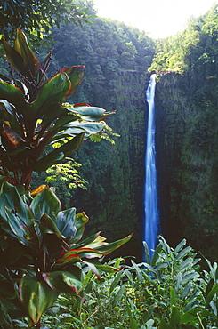 Hawaii, Big Island, Akaka Falls surrounded by Ti leaves and greenery