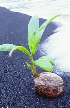 Hawaii, Maui, Hana, Wainapanapa, Coconut seedling on black sand beach