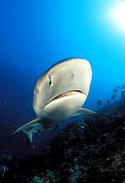 Fiji, Close-up headshot of gray Reef Shark (Carcharinus amblyrhynchos) .