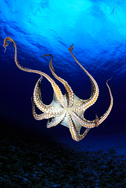 Hawaii, Day octopus (Octopus cyanea) view of underside near surface, midwater