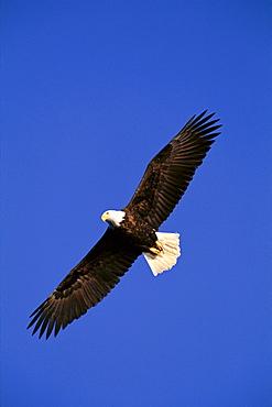 Alaska, Chilkat River, Bald Eagle in flight (Haliaeetus leucocephalus) blue sky A51F