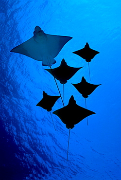 [DC] Galapagos, Six Spotted eagle rays (Aetobatus narinari) view from below B1924
