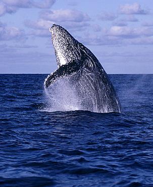 Mexico, Humpback Whale (Megaptera novaeangliae) breaching, close-up C2029