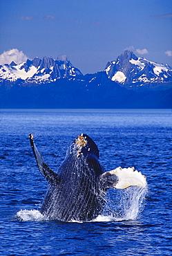 [DC] Alaska, Baranof Island Humpback Whale (Megaptera novaeangliae) breaching Inside Passage Chatham Strait D1939