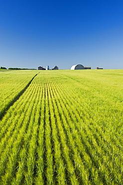 Barley field, near Ponteix, Saskatchewan, Canada