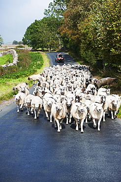 Flock of sheep being moved down a narrow country road, Cumbria, England