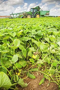 Female farmer harvesting cucumbers, Preston, Maryland, United States of America