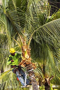 Coconut palm tree (Cocos nucifera) growing on the grounds of the King Kamehameha Hotel, Kailua-Hona, the Big Island, Hawaii, being pruned by Kellys Tree Service during the summer, Kailua- Kona, Island of Hawaii, Hawaii, United States of America
