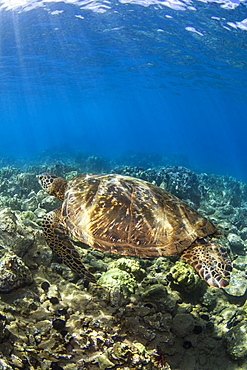Hawaiian Green Sea Turtle (Chelonia mydas) named 'Honu';Makena, Maui, Hawaii, United States of America