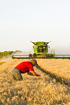 A farmer examines the crop while a combine harvester harvests winter wheat, near Niverville, Manitoba, Canada