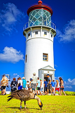 Group of tourists at Kilauea Lighthouse under blue sky. Nene (Branta sandvicensis), or Hawaiian goose, is in the foreground, Kilauea Point National Wildlife Refuge, Kilauea, Kauai, Hawaii, United States of America