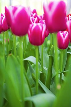 Tulips, Keukenhof Gardens, Lisse, Netherlands, Europe