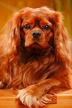 Cavalier King Charles Spaniel, male, ruby