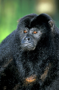 Black Howler Monkey, male / (Alouatta caraya)