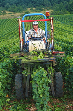 Vines are cut mechanically, Cote d'Or, Burgundy, France