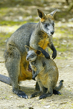 Swamp Wallaby with young / (Wallabia bicolor)