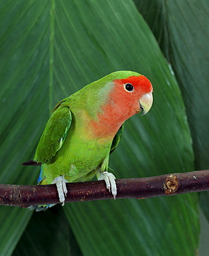 Peach-faced Lovebird / (Agapornis roseicollis)