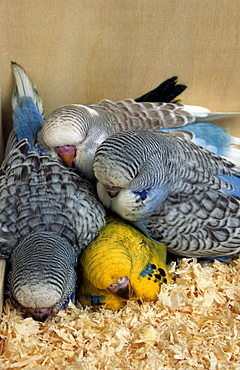 Young Budgerigars in nest / (Melopsittacus undulatus) / Budgie