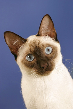 Classic Siamese Cat, chocolate-point