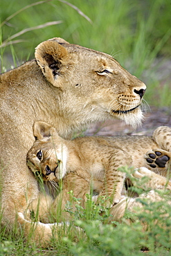 African Lions, lioness with cub, Sabie Sand Game Reserve, South Africa / (Panthera leo)