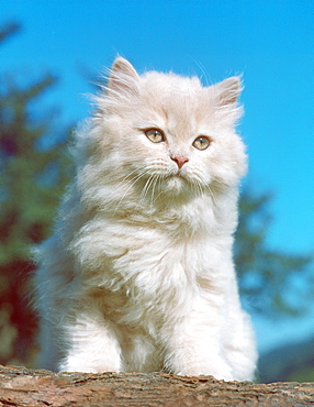 Persian Cat, kitten, cream