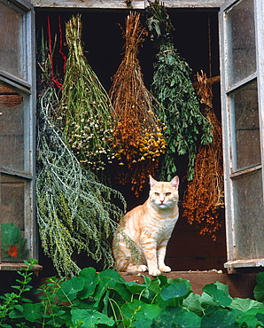 Domestic Cat at open window with drying herbs