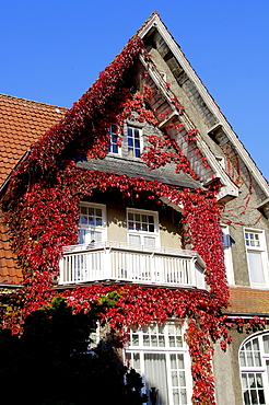 Housefront with Boston Ivy, Weener, Lower Saxony, Germany / (Parthenocissus tricuspidata) / Japanese Creeper