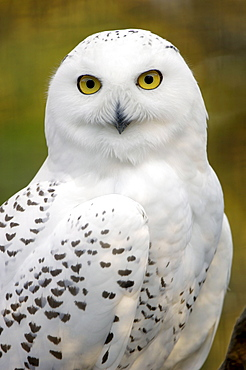Snowy Owl, female / (Nyctea scandiaca)