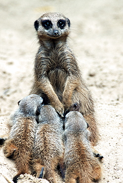 Meerkats, female nursing youngs / (Suricata suricatta)