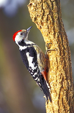Middle-spotted Woodpecker, Hesse, Germany / (Dendrocopos medius, Picoides medius)