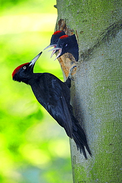 Black Woodpecker with youngs at tree hole, Thuringia, Germany / (Dryocopus martius)