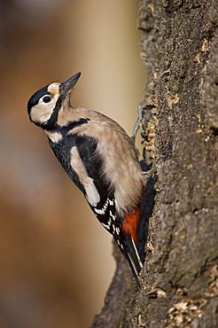 Great Spotted Woodpecker, Lower Saxony, Germany / (Dendrocopus major, Picoides major) / side