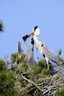 Grey Heron with youngs at nest, Camargue, Provence, Southern France / (Ardea cinerea)