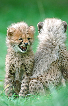 Cheetah cubs, 3 month old / (Acinonyx jubatus)