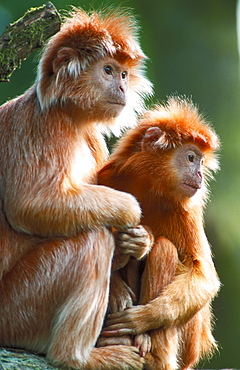 Javan Langurs, female with young / (Trachypithecus auratus auratus) / side