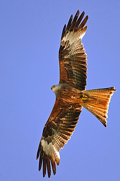 Red Kite, Mecklenburg-Western Pomerania, Germany / (Milvus milvus)