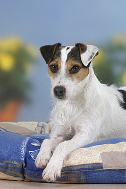Jack Russell Terrier on cushion